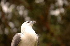 Free White-bellied Sea Eagle Royalty Free Stock Photography - 5500617
