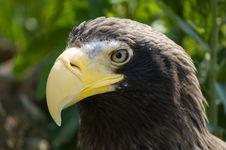 Free Whiteshoulder Sea Eagle Royalty Free Stock Photography - 5500647