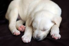 Free Sleeping Labrador Puppy Stock Photos - 5500943