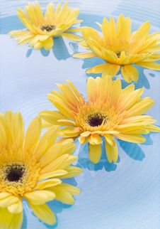 Free Yellow Gerbera Daisies Royalty Free Stock Photo - 5500985