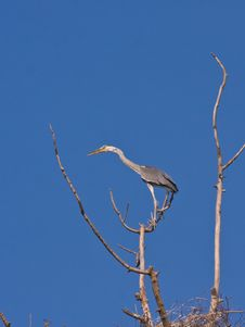 Free The Grey Heron Royalty Free Stock Photography - 5501157