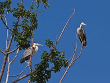 Free The Grey Herons Royalty Free Stock Images - 5501209