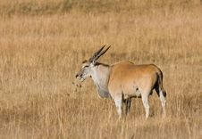 Free Eland Grazing Stock Images - 5501334