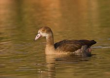 Free Egyptian Goose Stock Image - 5501341