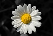 Free Jumping Daisy Stock Images - 5501534
