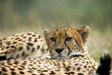 Free Beautiful Cheetah Royalty Free Stock Photos - 5501828