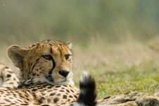 Free Beautiful Cheetah Stock Images - 5501844