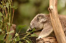 Free Koala Stock Photography - 5502572