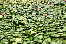 Free Water Lily Royalty Free Stock Photos - 5503618