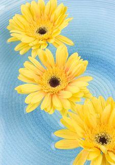 Yellow Gerbera Daisies Stock Photography