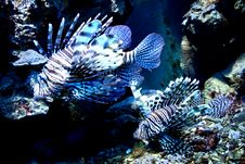Free Lionfish Stock Photography - 5503972
