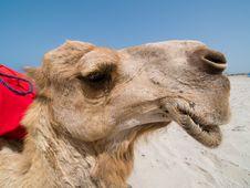 Free Camel Portrait 4 Stock Image - 5504041