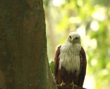 Free Eagle Royalty Free Stock Photography - 5505357