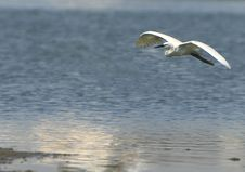 Free Egret Flying Stock Photos - 5505463
