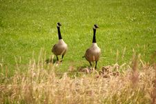 Free Canadian Goose Royalty Free Stock Images - 5505539
