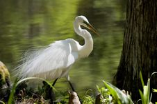 Free Snowy Egret Royalty Free Stock Photos - 5505568