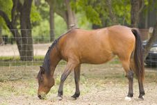 A Horse Feeds In A Corral Stock Photo