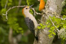 Golden-fronted Woodpecker Perched Stock Images