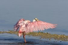 Roseate Spoonbill Flapping His Wings Royalty Free Stock Images
