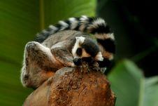Free Ringtail Lemur Sleeping On Rock Royalty Free Stock Photos - 5506498