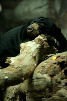 Free Sunbear Sleeping On Rock Royalty Free Stock Images - 5506499