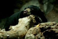 Free Sunbear Sleeping On Rock Stock Photo - 5506510
