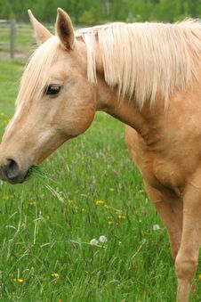 Free Horse Enjoying The Grass Royalty Free Stock Photo - 5506875