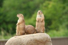 Prairie Dogs On Rock Stock Photos