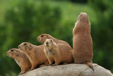 Free Prairie Dogs On Rock Royalty Free Stock Photo - 5507035