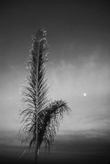 Free Palm Tree - BW - Dramatic Royalty Free Stock Photography - 5507117