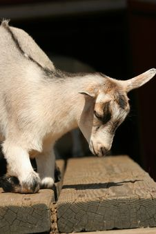 Free Baby Goat Resting Royalty Free Stock Images - 5507149