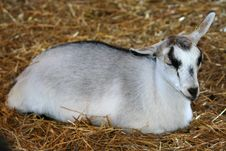 Free Baby Goat Sleeping In Hay Stock Image - 5507191
