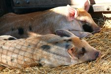 Free Piglets Sleeping Royalty Free Stock Photo - 5507195