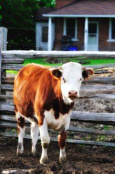 Free COW Royalty Free Stock Photos - 5507668