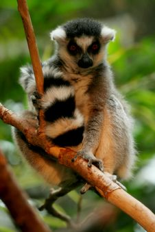 Free Ringtail Lemur Perching In Tree Royalty Free Stock Photos - 5507848