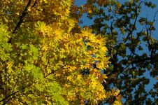 Free Leafs On Tree Royalty Free Stock Photography - 5507867