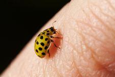 Free Yellow Ladybug Stock Image - 5507871