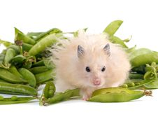 Free Hamster And Peas Stock Photos - 5508003