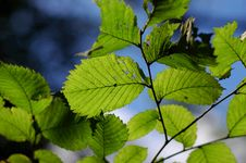 Free Leafs On Tree Stock Photography - 5508012