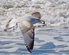 Free Gull On Wing Stock Photography - 5508472
