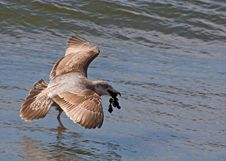 Gull Above Water Stock Image