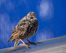 Free Starling On A Pole Stock Photo - 5508490