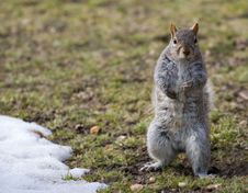 Free Squirrel And A Snow Stock Image - 5508501