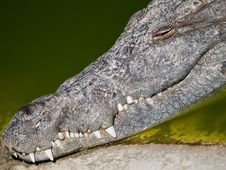 Free Smile Of Crocodile Stock Image - 5508901