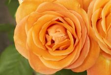 Free Closeup Of Bright Orange Roses Stock Photo - 5508920