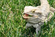 Free Water Dragon. Stock Photography - 5509152