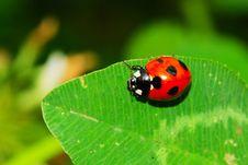 Free Ladybug On The Leaf Royalty Free Stock Image - 5509246