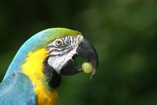 Free Clever Blue And Gold Macaw Royalty Free Stock Images - 5509269