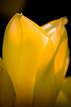 Free Yellow Tulip Petals Royalty Free Stock Photography - 5509377
