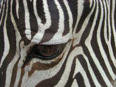 Free Sight Of A Zebra (Equus) Royalty Free Stock Photo - 5509465